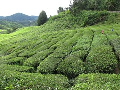 Cameron Highland tea plantations (sebd_ch) Tags: cameron highlands tea