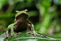 2J4A8093 (ajstone2548) Tags: 12月 樹蛙科 兩棲類 翡翠樹蛙