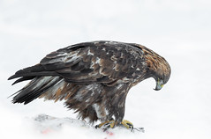 Golden Eagle (Nigey2) Tags: golden eagle goldeneagle raptor bird birds