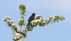 Sing Blackbird Sing (The Rustic Frog) Tags: brandon marsh nature reserve wild bird blackbird black warwickshire uk england midlands central may blossom