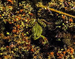 The camouflaged toad or frog? This picture was shot at the ruins of Asserbo castle in Denmark. (Frederik0711) Tags: hidden frogs frog swamp yellow orange camouflage colors color colorful green toads toad