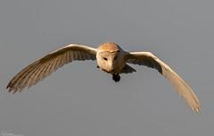 Barn Owl Hunting at dawn (Steve (Hooky) Waddingham) Tags: stevenwaddinghamphotography animal planet countryside coast bird british barn nature northumberland flight voles mice morning wild wildlife prey