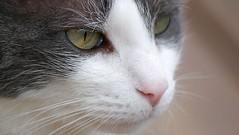 Cat Looks (Scott 97006) Tags: kitty cat feline head whiskers eyes nose cute watching