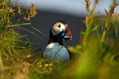 Puffin in the Grass (spookyrod) Tags: iceland puffin fratercula arctica grass beach cliffs fish vik i myrdal dyrholaey pentax