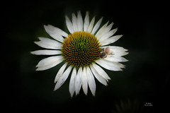 Breaktime ~ Flickr Explore (ExpressionOfJoy) Tags: coneflower whiteconeflower flower flowers nature fly macro nikon explore