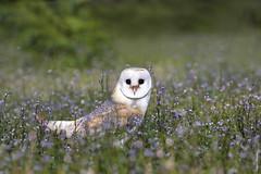 Barn owl (Mary Bassani) Tags: barnowl owl lechuza barbagianni animalplanet animallovers rapaces canonphotographer