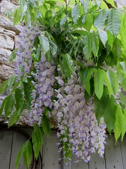 Glycine villageoise (wisteria), Saint Pierre (XIIe), Saint Pierre-Toirac, Quercy, Lot, Occitanie, France. (byb64) Tags: lot quercy midipyrénées occitanie occitania okzitanien france francia frankreich europe europa eu ue village villagio pueblo borgo dorf ort valléedulot saintpierretoirac glycine fleurs flowers flores fiori blumen bloom floraison wisteria