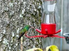 Buff-bellied Hummingbird (robertemond) Tags: redbill nectar green visitor rare buffbelliedhummingbird hummingbird