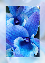 Blue orchid (smir_001) Tags: orchids orchidflowers indoor dendrobium dendrobiumspecies houseplant herbs flowers plants flora canoneos6dmarkii march spring blueorchid colouredorchids unusualcolours dyedorchids interesting orchidaceae bluedendrobiumorchids bluedendrobium