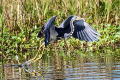 Tricolor Heron Takeoff (dbadair) Tags: outdoor nature wildlife 7dm2 canon florida bird
