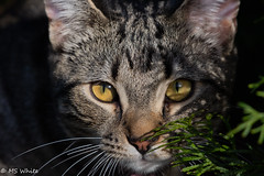 The eyes have it! (Picture-Perfect Pixels) Tags: shorthair domestic staring outdoors cat kitten eyes stare tabby cedar planter