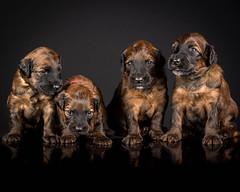 Puppies jan 2019-7030 (Matthew Brown 7) Tags: briard puppies lowkey strobist four 4 reflection perspex 2light flash softbox keylight filllight nikond750 nikon70200f28