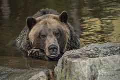 ND5_2111 Golden Light (Wayne Duke 76) Tags: grizzly bear fur goldenlight mammal animal rock water claws