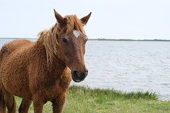 Horse on Beach by Emily Ballard (Maryland DNR) Tags: 2018 photocontest wildlife mammals ponies horses assateague marsh
