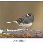 Junco ardoisé / Dark-Eyed Junco 153A3302 thumbnail