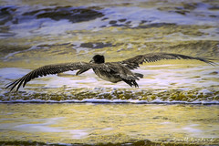20181112.80D.166-Edit (Scott Sanford Photography) Tags: 80d canon ef14xiii ef100400mmf4556lii eos gulfcoast naturalbeauty naturallight nature outdoor texas water wildlife beach birds coast