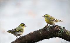 KUS850-4014 (Weinstöckle) Tags: vogel erlenzeisig