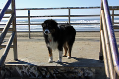 Patient Dash (JB by the Sea) Tags: sanfrancisco california october2018 fortfunston australianshepherd aussieshepherd aussie dog dash pacificocean pacific ocean