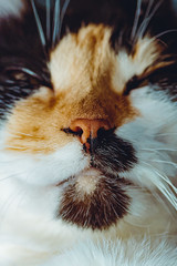 Our lovely pet (donnicky) Tags: cat closeup domesticanimal fur furry indoors mouth nopeople nose oneanimal pet publicsec лилу