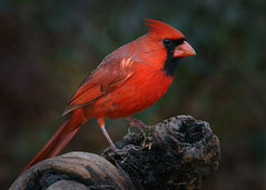 _A992272 (mbisgrove) Tags: red bird a99ii a99m2 canada cardinal canadian ontario sony wings sal70400g2