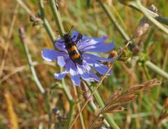 Mylabris variabilis on blue lettuce (Lactuca perennis), Les Pontils (Niall Corbet) Tags: france occitanie languedoc roussillon aude pebrieres beetle mylabrisvariabilis bluelettuce lactucaperennis