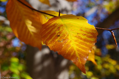 Fall on the Grounds at UVa (davekrovetz) Tags: macro closeup autumn fall uva pentax k70 leaves virginia charlottesville trees bokeh
