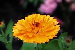 Flower (Hugo von Schreck) Tags: hugovonschreck flower blume blüte macro makro tamron28300mmf3563divcpzda010 canoneos5dmarkiii