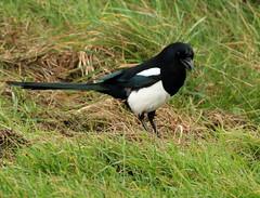IMG_5010 (monika.carrie) Tags: monikacarrie magpie wildlife scotland aberdeen