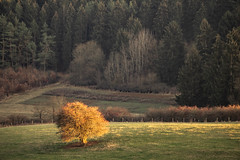one in the sun (Wöwwesch) Tags: last sun onetree tree walk forest evening autumn landscape pastures