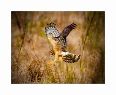 Northern Harrier Attacking Prey (George McHenry Photography) Tags: raptor bird harrier northernharrier southcarolinabirds southcarolina