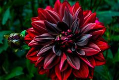 red-black dahlia (apoanton) Tags: dahlia redblack flower blossom blooming petal beauty