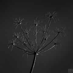 AUTUM impression -III- (MAICN) Tags: 2018 square x100f herbst nature himmel mono sw fujifilm nahaufnahme bw blackwhite monochrome quadratisch schwarzweis fuji sky withered einfarbig verblüht autum natur