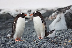 selective focus photography of two penguins 689784 (imagesman) Tags: animals antarctic antarctica beaks bird blurredbackground cold daylight feathers frosty ice isolated little nature ornithology outdoors penguins rocks sideview snow stones wild wilderness wildlife winter