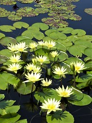 Chicago, Garfield Park Conservatory, Lily Pond (Mary Warren 12.1+ Million Views) Tags: chicago garfieldparkconservatory nature flora plants green leaves foliage white yellow waterlilies lilypads blooms blossoms flowers