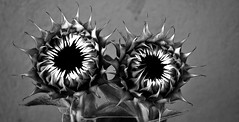 Nature in black and white(2): Blind sunflowers (PURIFM) Tags: flower nature whiteandblack ngc nikon sunflower plants
