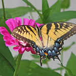 Eastern tiger swallowtail on pink thumbnail