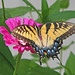 Eastern tiger swallowtail on pink