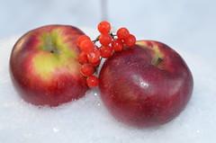 Яблоки на снегу - розовые на белом. (Angelok-Happy) Tags: яблокинаснегу снежинки снег зима ягодкиwinter december snow snowflakes applesinthesnow berriesviburnum