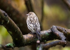 Pine Siskin (Spinus pinus) in the rain (Kremlken) Tags: finches siskins birds birding birdwatching northwestpa pennsylvania nikon500 autumn