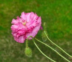 Memory of summer. (Bessula) Tags: bessula nature garden plant flower poppy summer bokeh pink macro bud alittlebeauty coth ngc coth5
