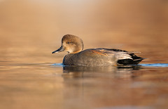 Gadwall (nikunj.m.patel) Tags: duck gadwall nature wildlife wild waterfowl nikon naturephotography nikond850