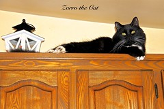 ZORRO is NOW 17 MONTHS OLD ( From Montreal, Québec ) (Guy Lafortune) Tags: armoire cabinet lamp lampe bois wood plafond ceiling black white blackwhite male chat moustaches whiskers moustache whisker sourcils eyebrows sourcil eyebrow patte feet nose nez yeux eyes kitchen cuisine door porte month december fall young jeune zorro name animal félin feline ears oreilles poil long hair cool cat closeup naturel natural penture hinge gatti sunny ensoleillé clear clair lanterne lantern macro maine coon