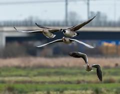 Rainham 18.12.18 Goose race
