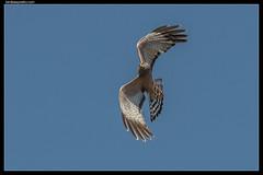Spotted Harrier (birdsaspoetry) Tags: circusassimilis spottedharrier wtp
