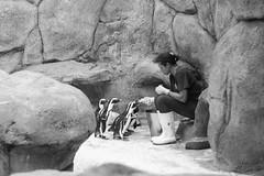So this is Christmas (auqanaj) Tags: düsseldorf aquazoolöbbeckemuseum aquazoo aquarium zoo blackandwhite monochrome schwarzweis penguins pinguine fütterung feeding d700 nikonafsnikkor50mm114g wildlife animals birds tiere vögel rocks felsen