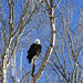 A young bald eagle surveys the world below in the vast Wyoming portion of Yellowstone National Park. Original image from Carol M. Highsmith's America, Library of Congress collection. Digitally enhanced by rawpixel.