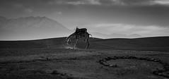 Angry Camel (Robert Mehlan - Munich) Tags: bw marokko camel landschaft blackwhite marocco atlas atlasgebirge