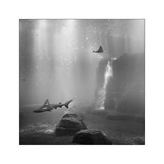 Requiem pour la lumière. (Scubaba) Tags: europe france pasdecalais noirblanc noiretblanc blackwhite bw monochrome aquarium requin shark raie ray