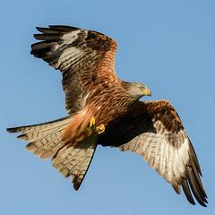 Red Kite (Adam Sibbald) Tags: nikon d500 red kite wales nature beauty bird flight bop sigma 120300 28 sport
