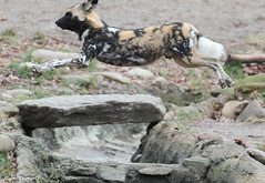 G08A9951.jpg (Mark Dumont) Tags: african dog painted zoo mark dumont cincinnati mammal